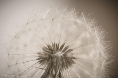 Dandelion Puffball Macro Nikon-1