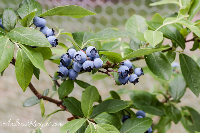 Andrea Meyers - Blueberries in our yard, June 19, 2011