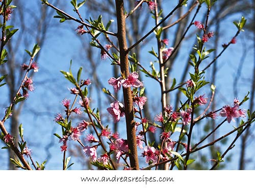 Andrea Meyers - Peach blossoms in our garden.