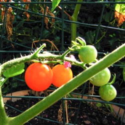 Sungold Tomatoes, First Fruits of Summer - Andrea Meyers