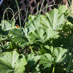 Squash Plants - Andrea Meyers