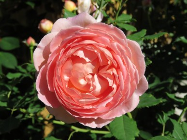 This is David Austin 'Jubilee Celebration' and this is the third flush and is now much more peach in colour than the first flush after pruning