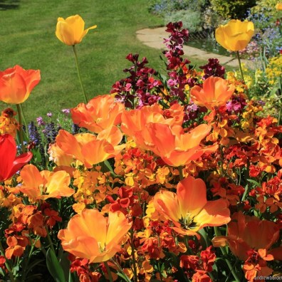 Alive with colour, a flowerbed is full of tulips.