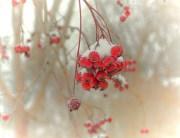 Winterberries-on-Frugal-Guidance-2