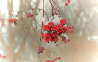 Winterberries-on-Frugal-Guidance-2
