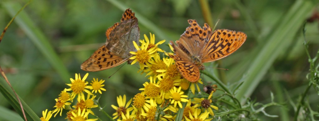 Butterflies, Silver-Washed Fritillaries, August 2016