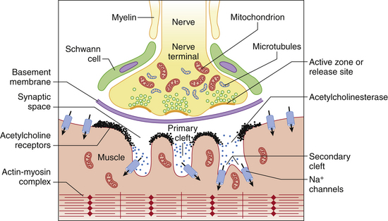 Musculoskeletal System Anatomy, Physiology, Pathophysiology, and - neuromuscular junction