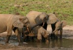 Forest elephant group-RichardRuggiero USFWS