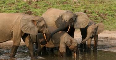 Forest elephant group-RichardRuggiero USFWS