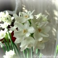 AnExtraordinaryDay.net - Forcing and Decorating with Paperwhites at Christmas - inspiring ideas