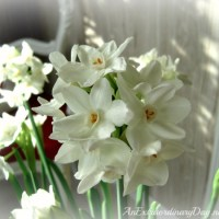 It's Time to Plant and Grow Paperwhites