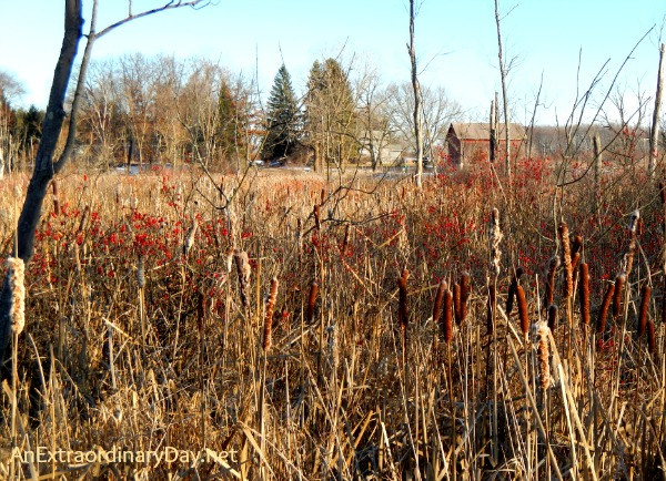 Gift of Necessity :: Joy Day! :: Marsh with Cat Tails and Winterberry :: AnExtraordinaryDay.net