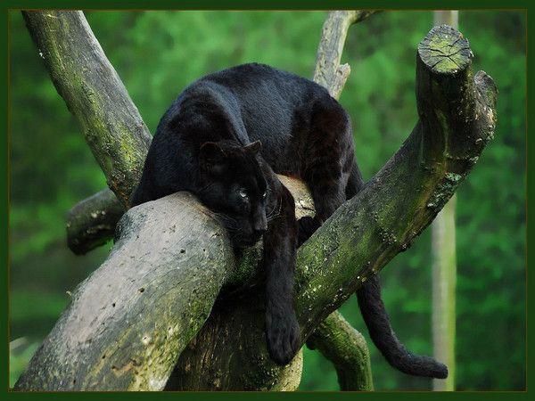 Black Animal Wallpaper Fond D Ecran Panthere Et Guepard Page 2
