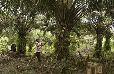 Limbah Sawit Untuk Bahan Bakar Tungku Biomass Produksi Biomassa Sawit