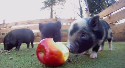 Micro Pig, cute, Pet piggie, Apple, animals, cute, fluffy, piglet, pig