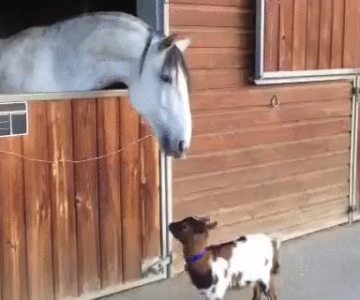 Baby goat introduces himself to a horse
