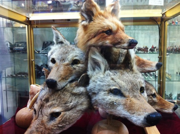 docs foxes