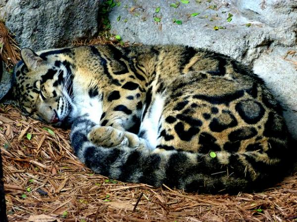 Cute Baby Sleeping Wallpapers Leopardo Nebuloso