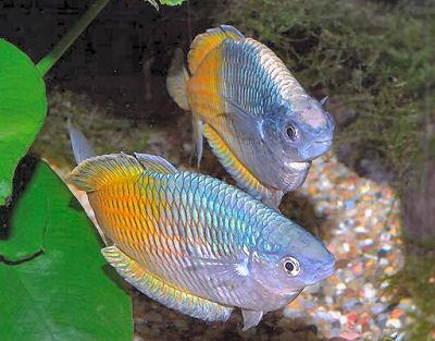 Rainbowfish - Blue Eyes