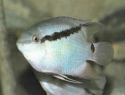 Flag Cichlid, Mesonauta festivus, Festivum Cichlid Fish Guide