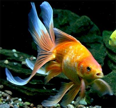 Cute Baby Pets Live Wallpaper Download Fantail Goldfish Fancy Goldfish Show Goldfish