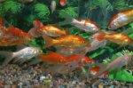 Mon Goldfish Fish Tank