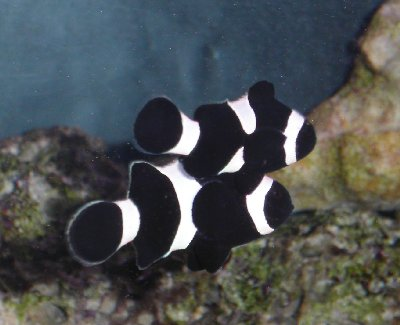 Clownfish, Fish Guides for Clown Fish Species, Anemonefishes