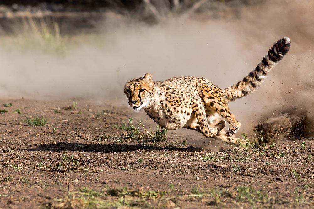 Cheetah Wallpaper Hd Animal Ark All American Cheetah Dash Animal Ark