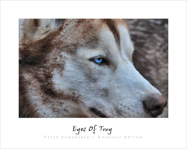 Eyes Of Troy - Peter Schroeder - Animalis Artium
