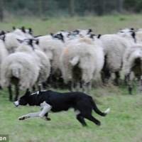 Мідж - Найдорожча в світі собака-пастух