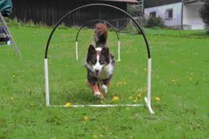Хуперс – новий спорт для собак