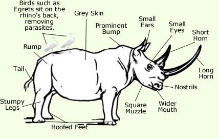 White Rhino Extinct Facts Diet Habitat Information