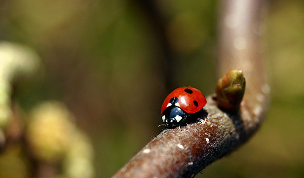 Ladybirds (Ladybugs) - Key Facts, Information  Habitat