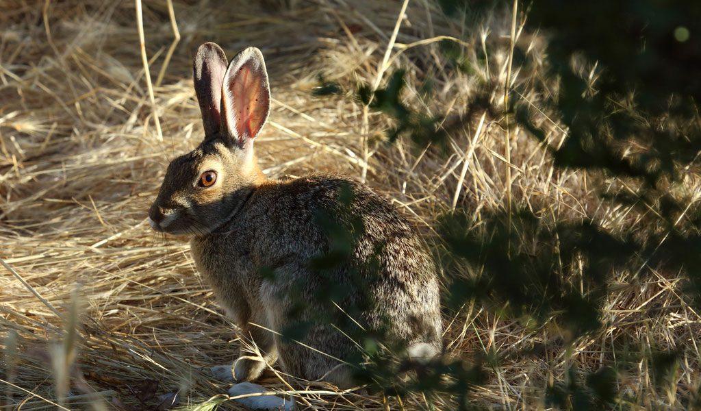 Wild Rabbits - Facts, Diet  Habitat Information