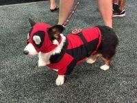 Deadpool Doggy | AnimalCosplay