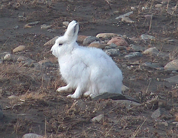 March Hare Adw: Lepus Arcticus: Information