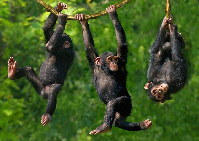 chimpanzees-having-fun
