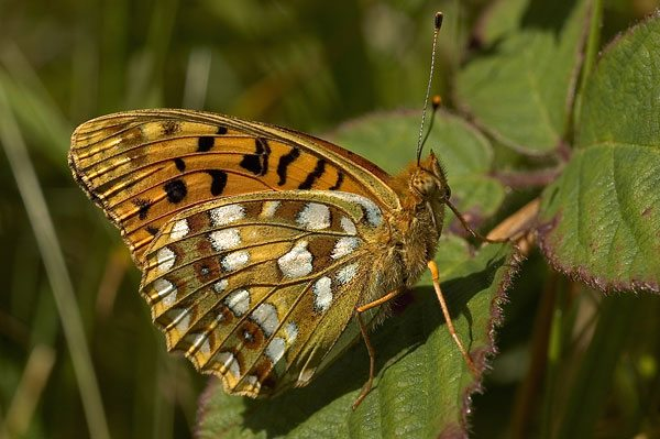 high-brown-fritillary-2