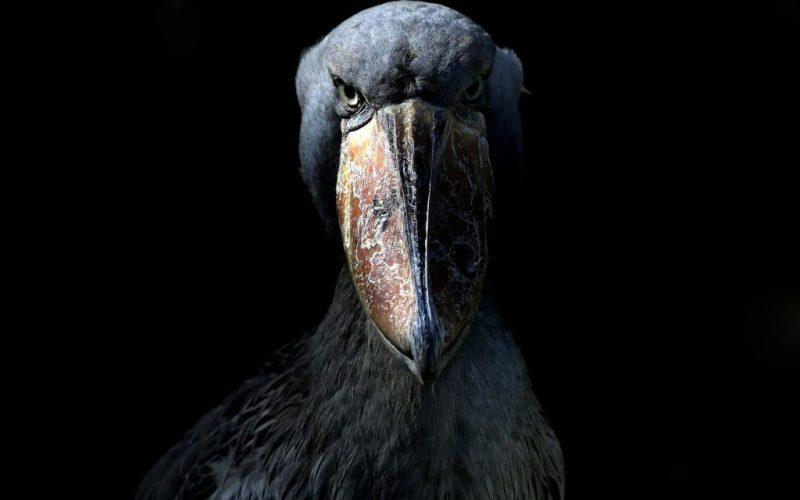 shoebill-prehistoric-bird