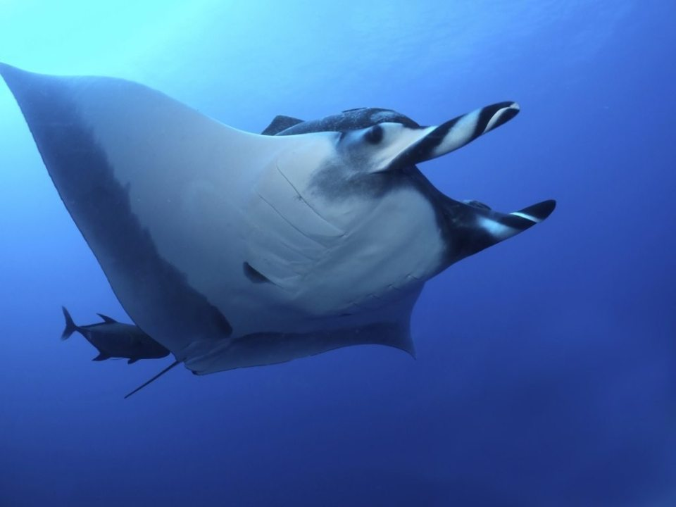 Mantas often travel with suckerfish – a tag-along species that takes advantage of speed and status
