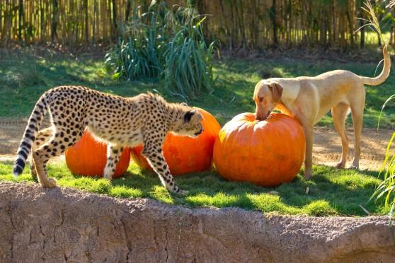 Fall Pumpkin Wallpaper Desktop Cheetah Cheetah Pumpkin Eatah Animal Fact Guide