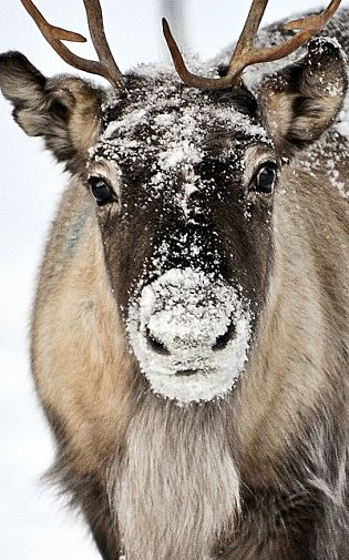 Baby Close Reindeer Facts - Animal Facts Encyclopedia
