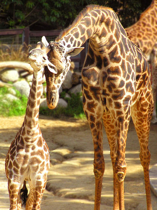 Baby Newborn Umbilical Cord Baby Giraffe Animal Facts Encyclopedia