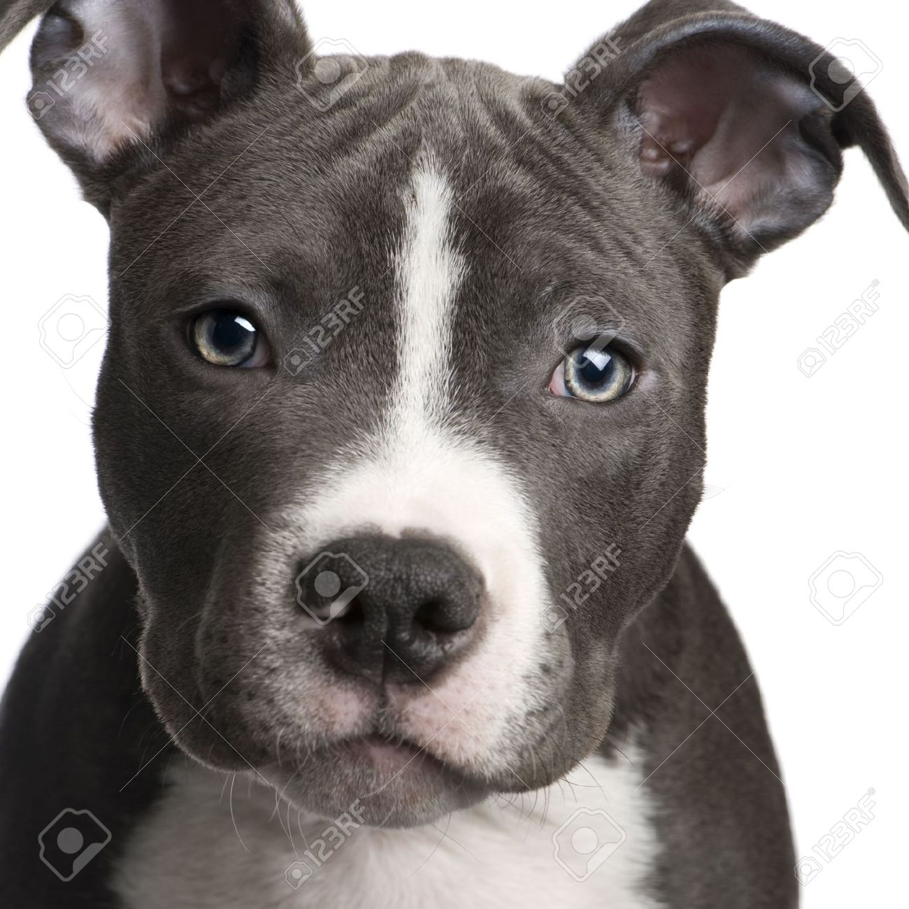 American Staffordshire Terrier American Staffordshire Terrier Dog Breed History And