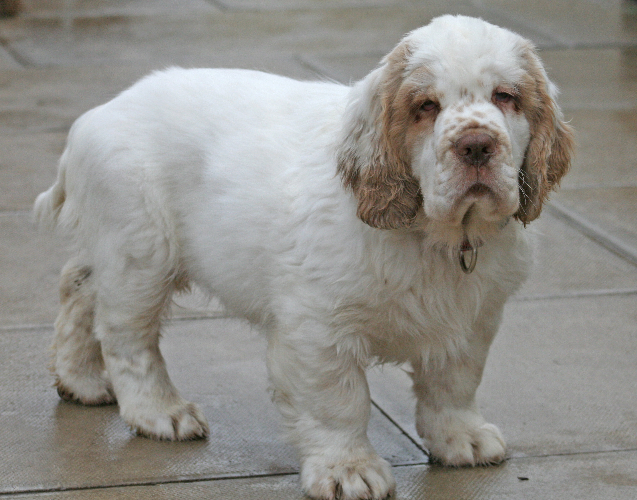 Clumber Spaniel Clumber Spaniel Dog Breed History And Some Interesting Facts