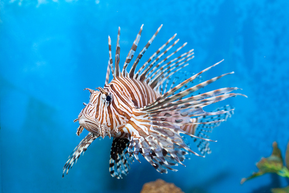 Animated Underwater Wallpaper Red Lionfish