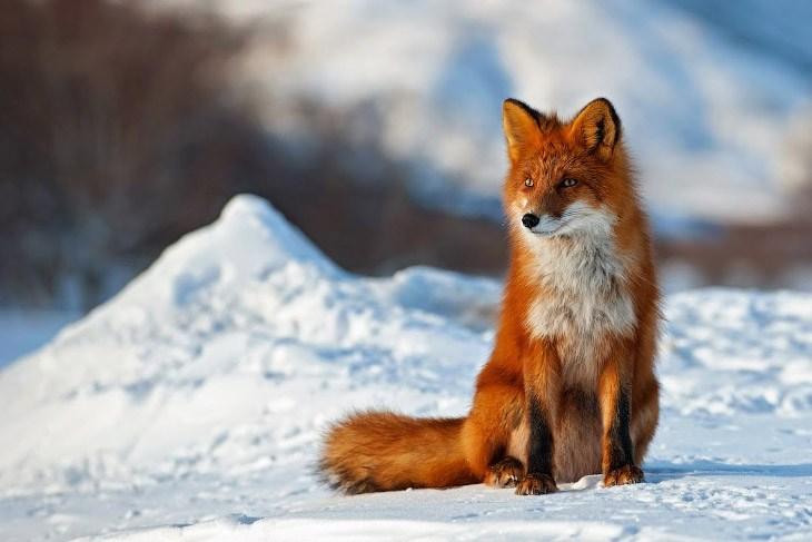 Fox Animal Wallpaper Volpe Animalinelmondo