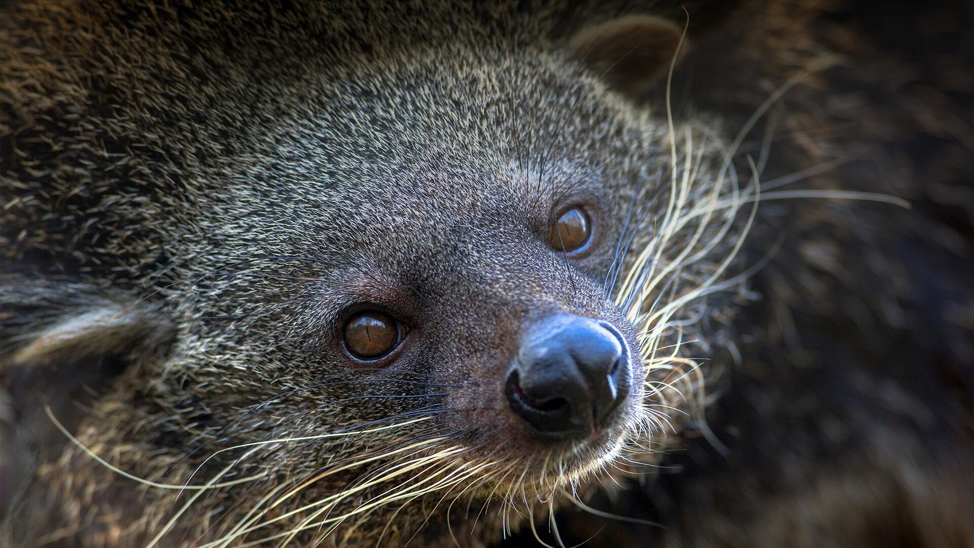 Black Cat Eyes Wallpaper Binturong San Diego Zoo Animals Amp Plants