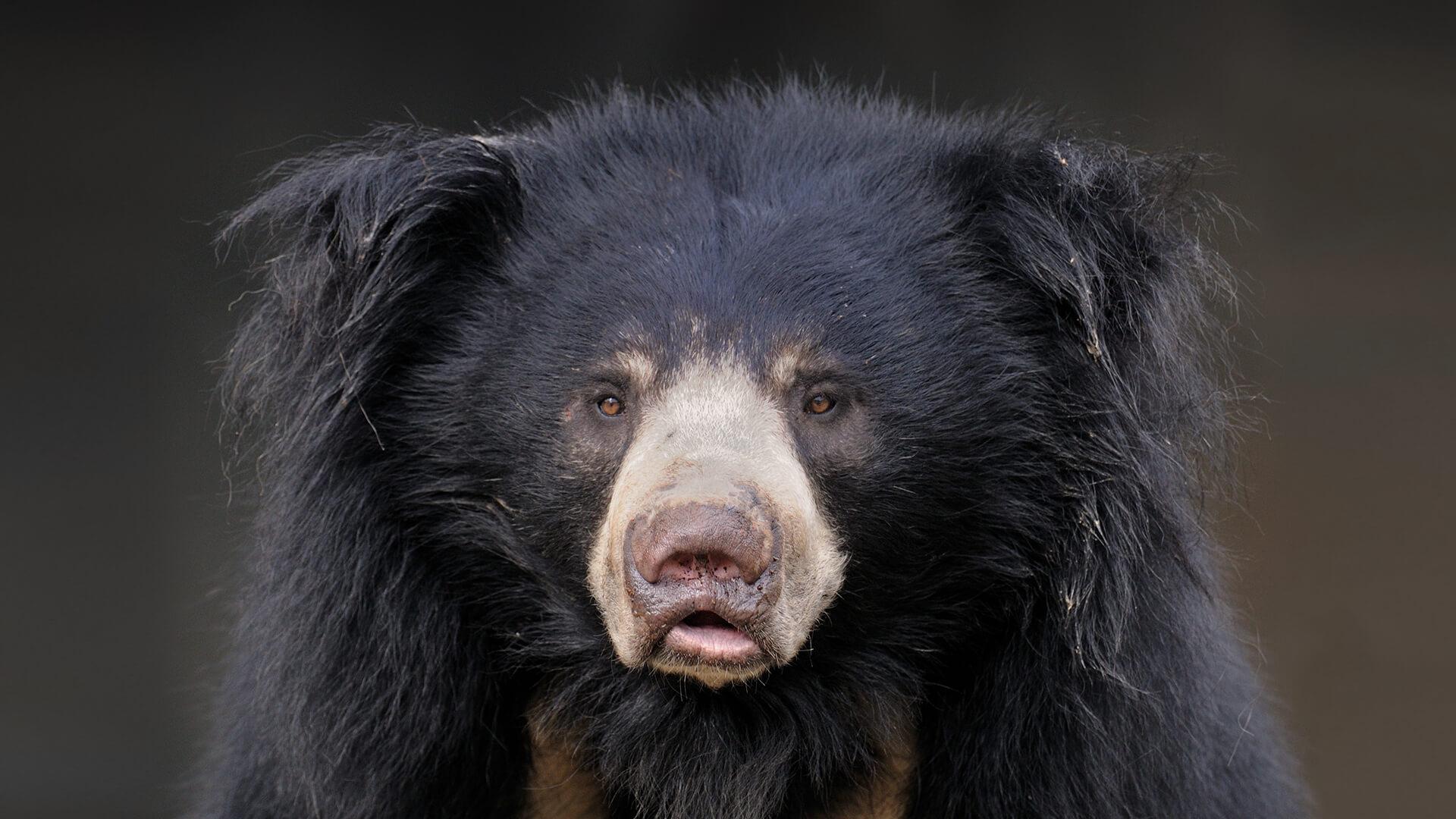 Forest Animal Wallpaper Sloth Bear San Diego Zoo Animals Amp Plants