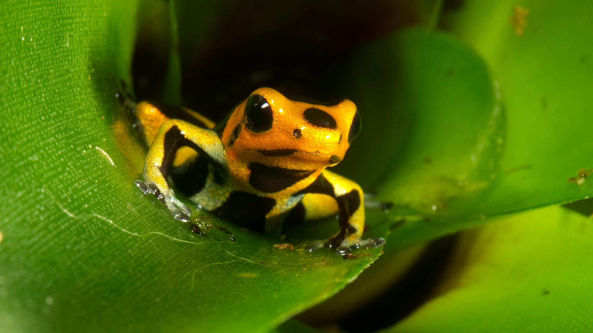 Cute Fish Wallpaper Hd Poison Frog San Diego Zoo Animals Amp Plants